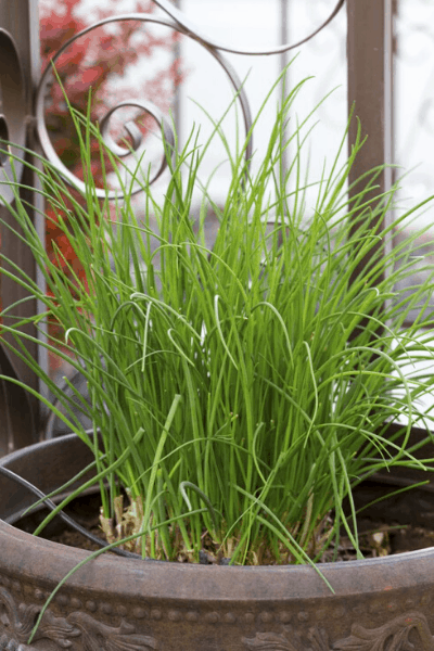 chives for indoor herb garden