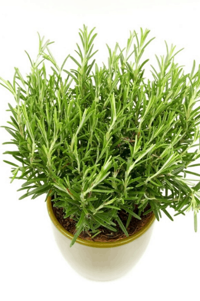 rosemary for indoor herb garden