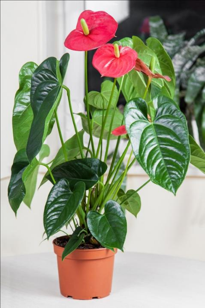 FLAMINGO LILY Air Purifying House Plants