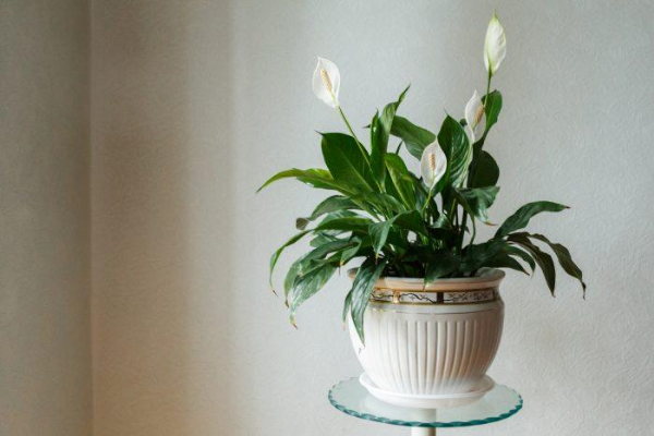 PEACE LILYAir Purifying House Plants