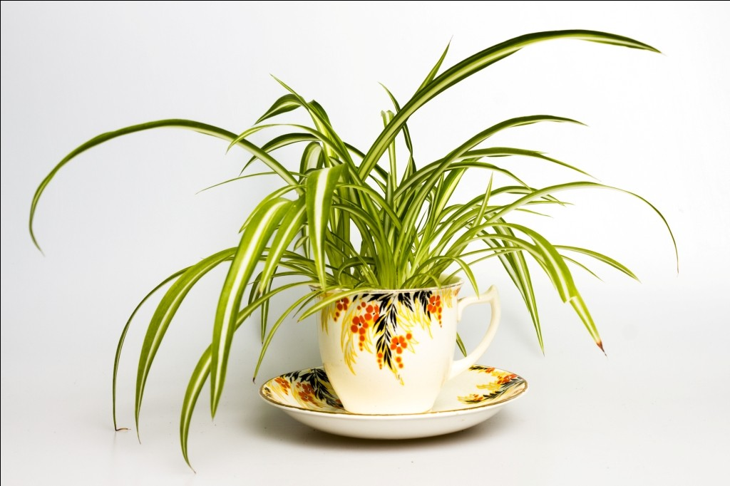 spider plant HOUSEPLANTS FOR BEDROOM