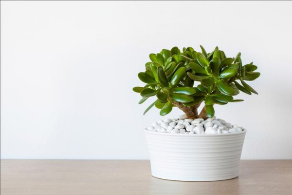 jade plant Air Purifying House Plants