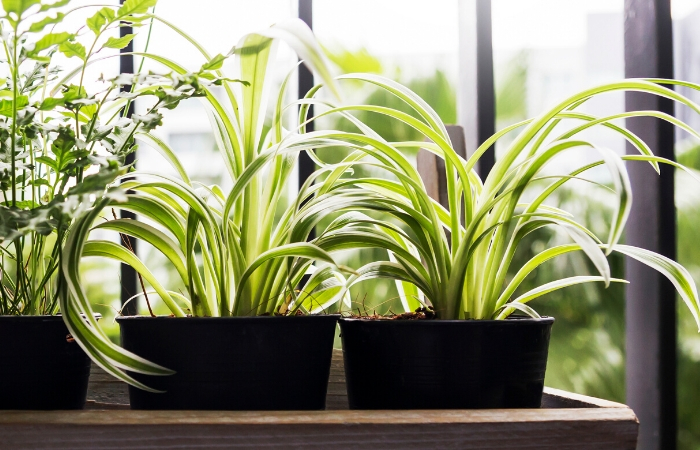 SPIDER PLANT HOUSEPLANTS FOR BATHROOM