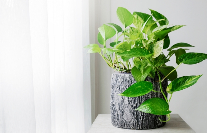 GOLDEN POTHOS HOUSEPLANTS FOR BATHROOM